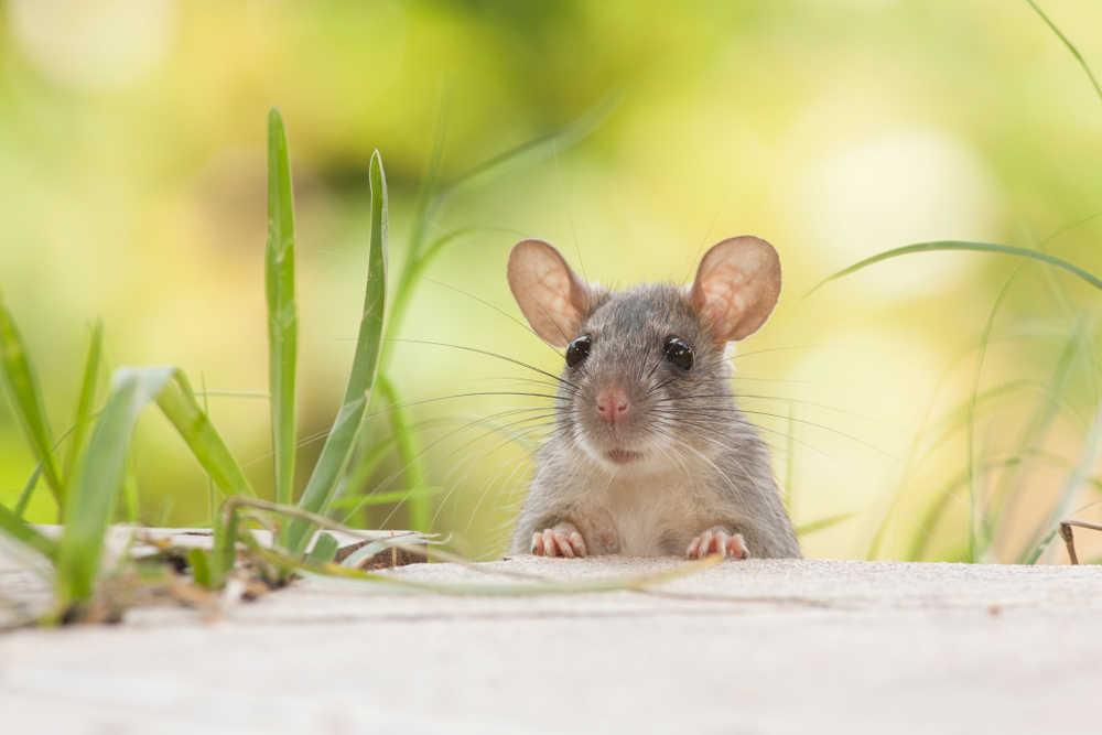 Los ratones, un peligro para nuestra salud